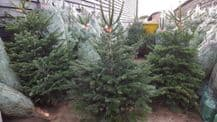 Nordmann Christmas Trees **AVAILABLE 29TH NOVEMBER**
